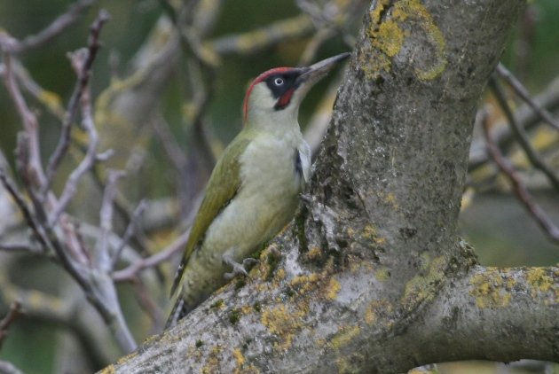 green woodpecker 3