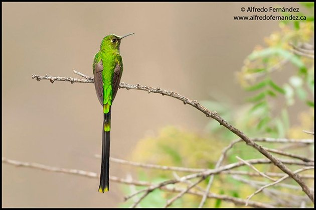 green_tailed trainbearer_male_ready
