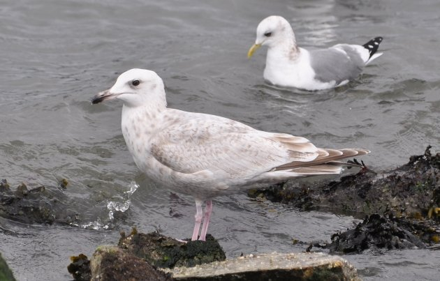 Herring Gull and Mew Gull