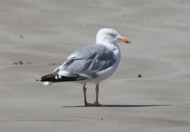 herring gull beach 2