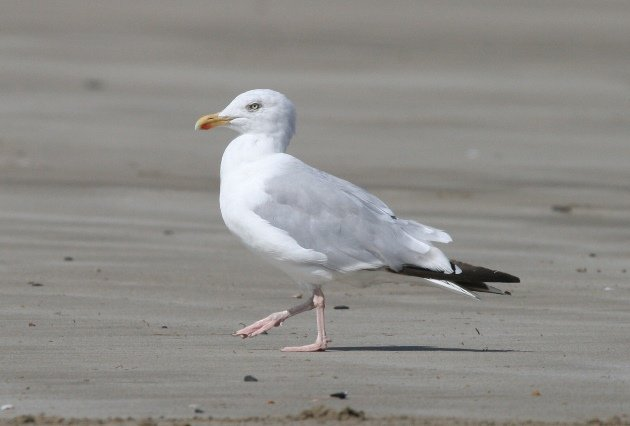 herring gull beach