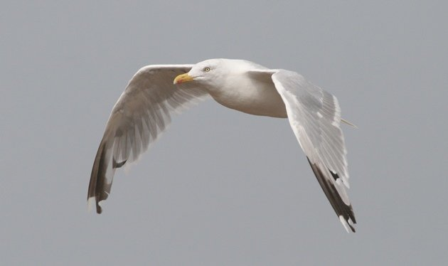 herring gull flight