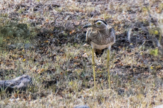 Double-striped Thick-knee Male