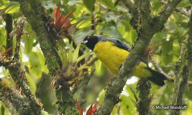 hooded-mountain-Tanager1
