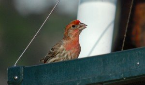 house finch curious