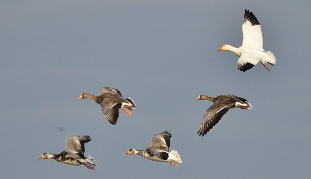 Snow X Greater White-fronted Geese