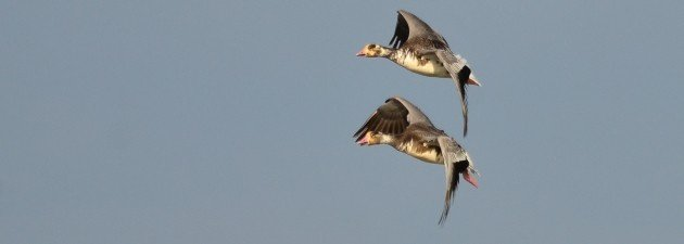 Snow-fronted Geese