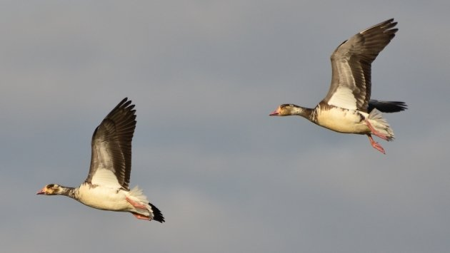 Snow X Greater White-fronted Goose