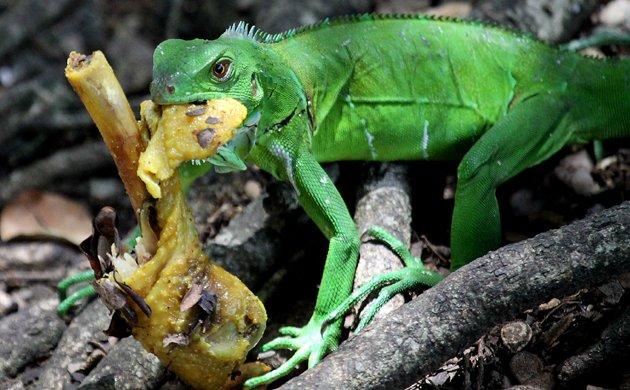 iguana eating roti