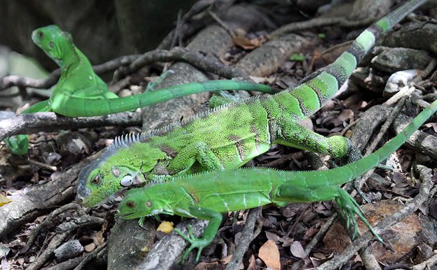 a trio of Green Iguanas