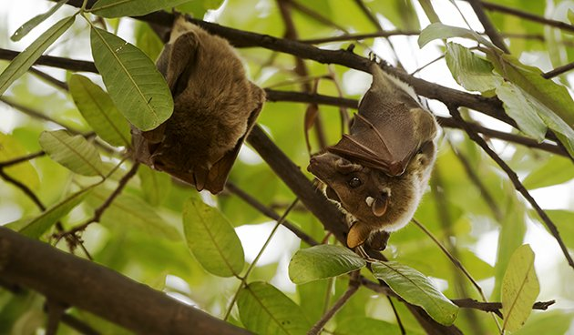 Epauletted fruit bats