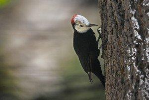 la.whhdwoodpecker1.630