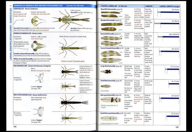 dragonflies larvae