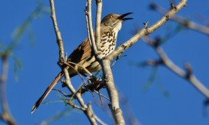 Long-billed Thrasher