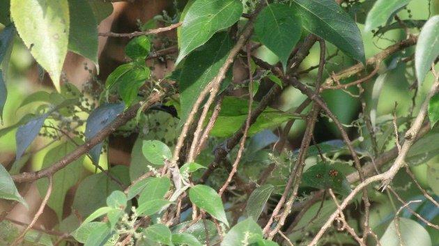 leafbird concealed