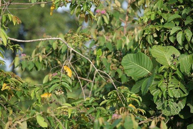 leafbird tiny