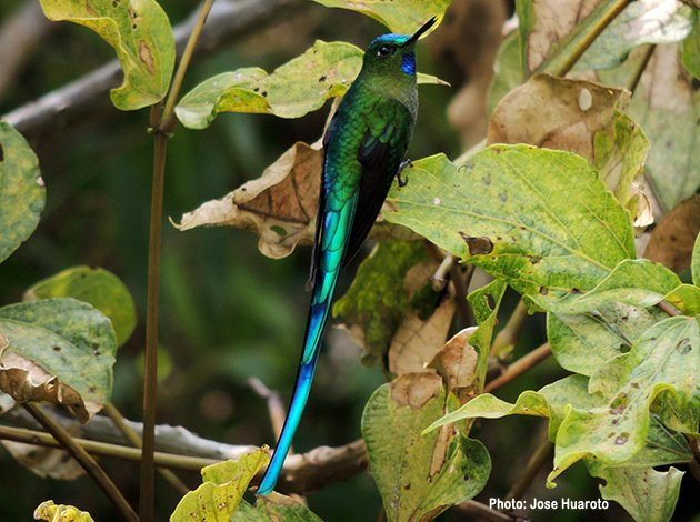 long_tailed_sylph_maile