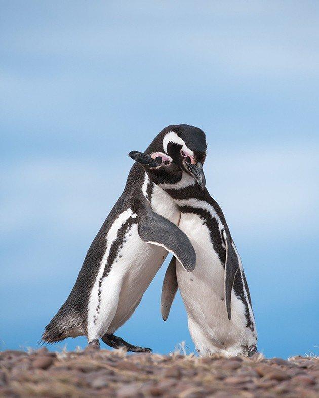 magellanic Penguin-28-motherandchild