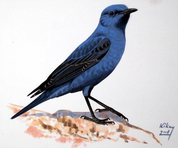 Male Blue Rock Thrush by Szabolcs Kokay