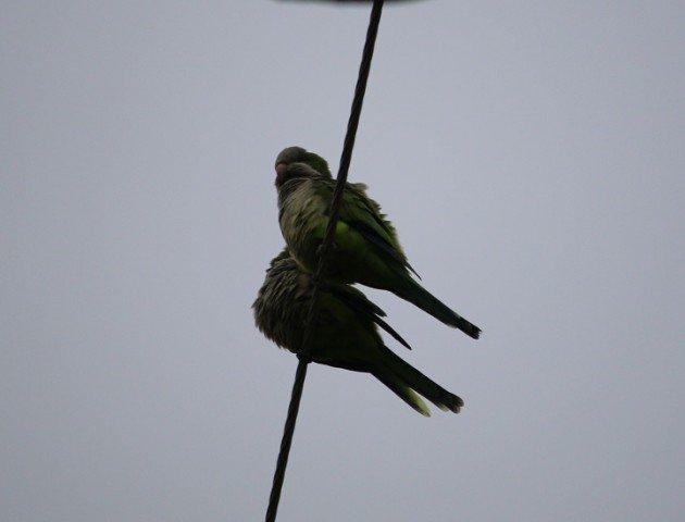 monk parakeet, parakeet, austin, texas, birding