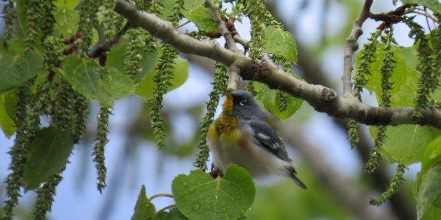 Avoiding Black Flies in Search of Boreal Birds