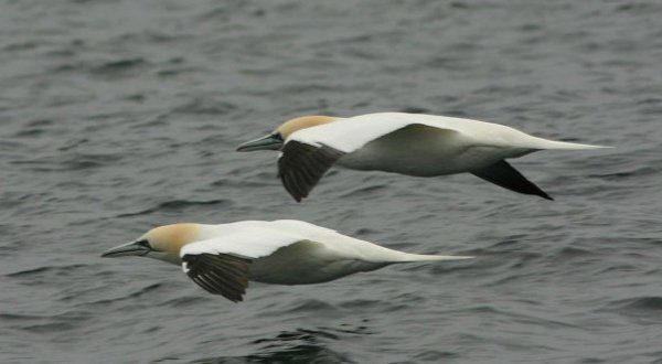northerngannet3