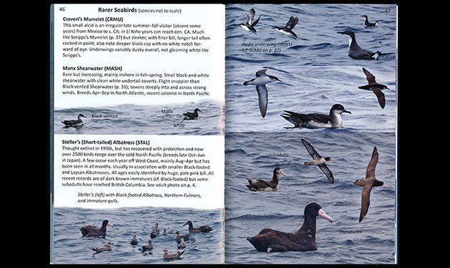 offshore.rarer sea birds