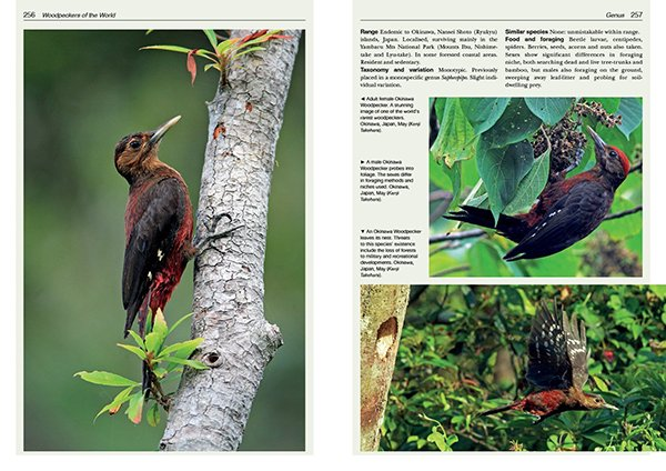 Okinowa Woodpecker