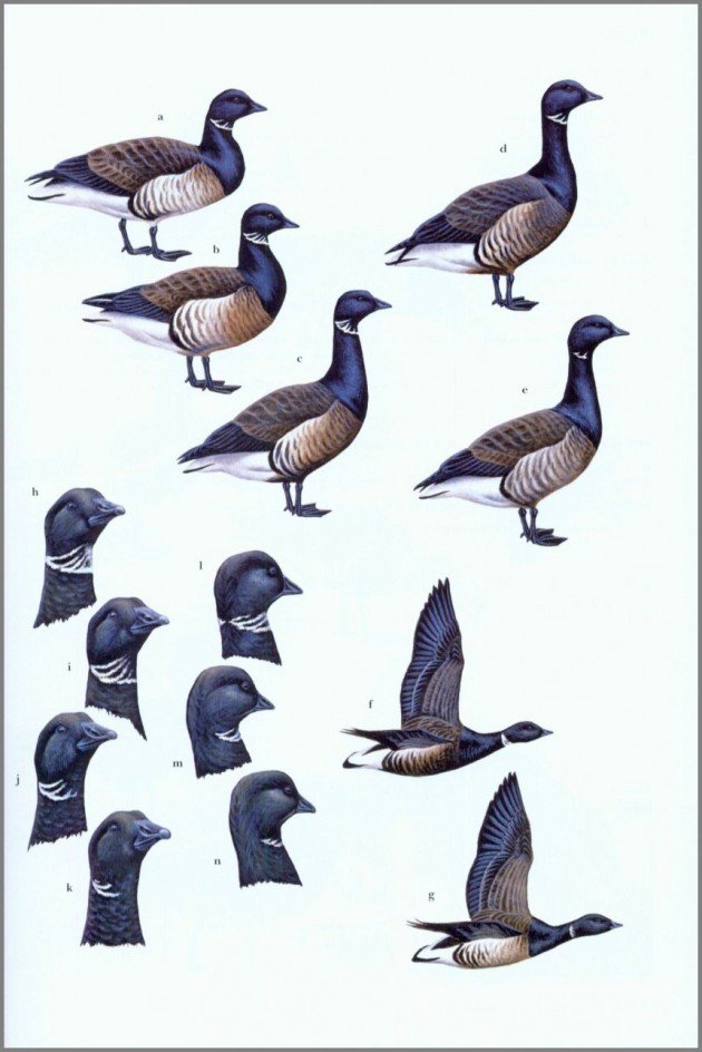 plate14.brant.a