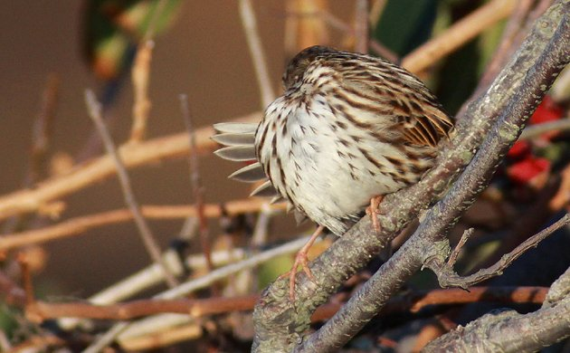 preening Savannah Sparrow back