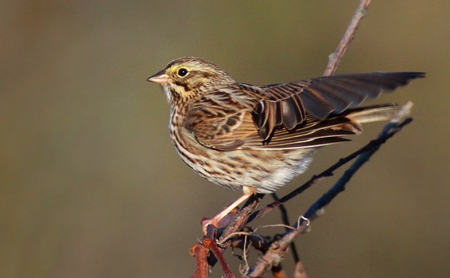 Savannah Sparrow ready to fly