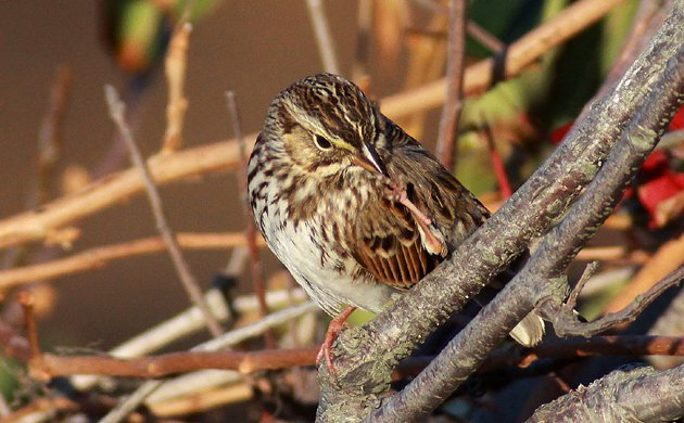 Savannah Sparrow cleaning its foot