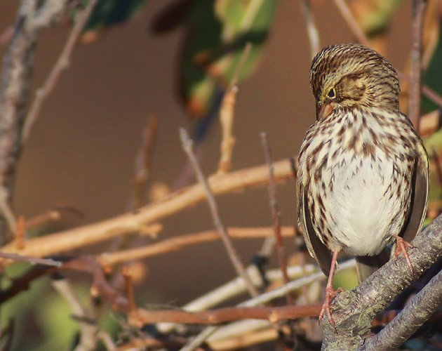 preening Savannah Sparrow