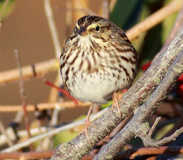 puffed up Savannah Sparrow