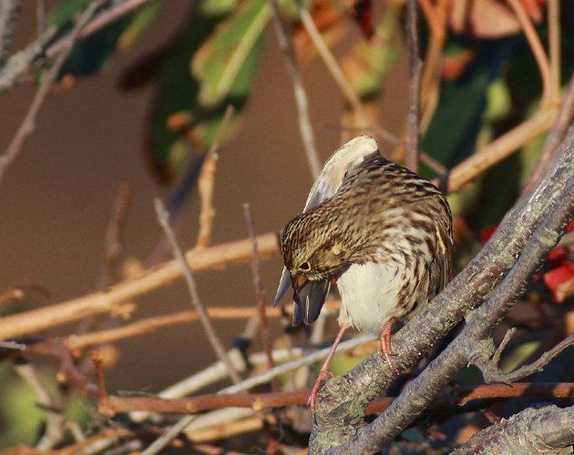 Savannah Sparrow preening its wing