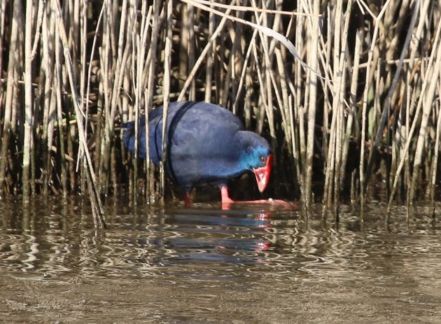 purple swamphen 3