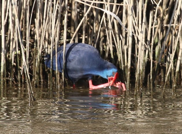 purple swamphen 4