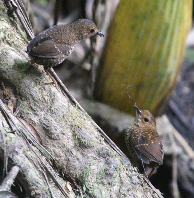 pygmy wren babbler pair