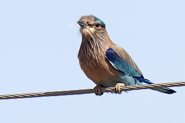 ranth.indian roller.7954.630