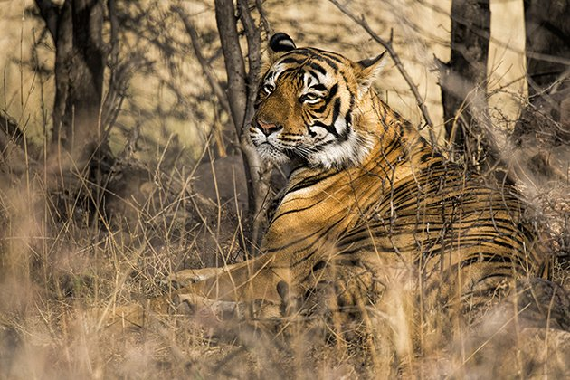 ranth.tiger.1.630