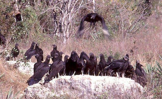 vulture flock
