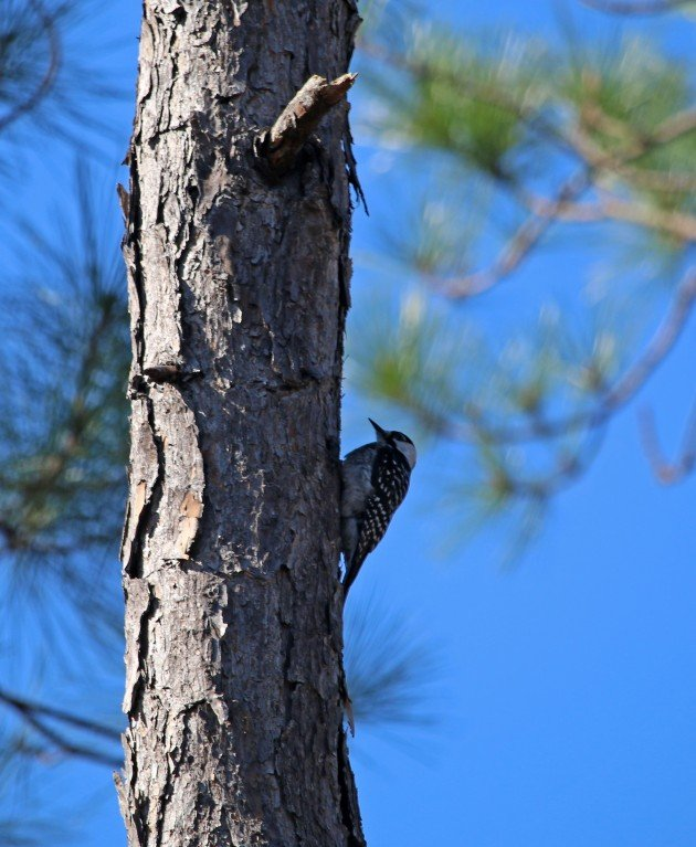 woodpecker, red-cockaded woodpecker, nature, florida