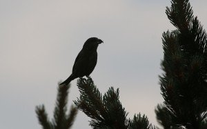 red crossbill 1