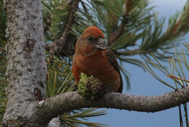 red crossbill cone 1