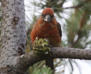 red crossbill looking at me