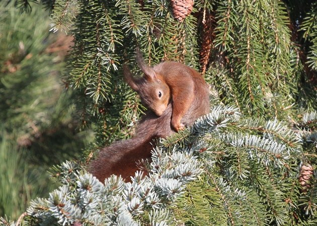 red squirrel preening