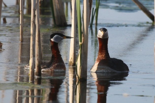 rednecked grebe courtship 3
