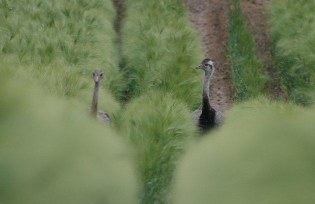 rhea pair