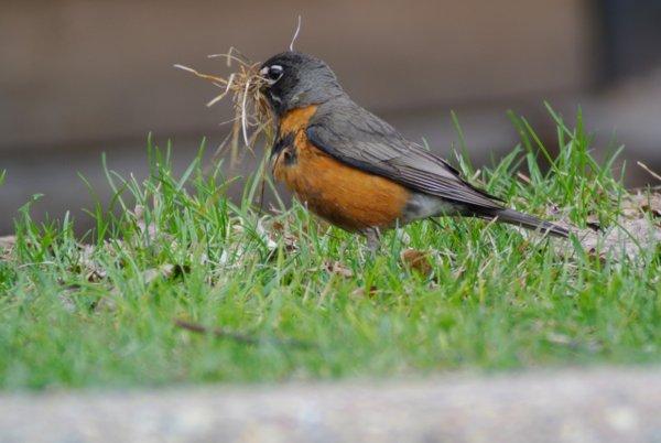 robin (turdus migratorious)