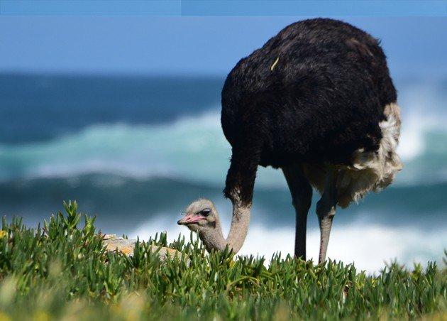 sa.ostrich1